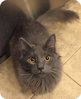 Russian Blue Kitten for adoption in Encinitas, California - Blue