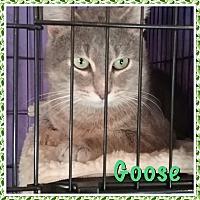 Adopt A Pet :: Goose - Cedar Springs, MI