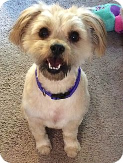 Havanese/Lhasa Apso Mix Dog for adoption in Redondo Beach, California - PeeWee