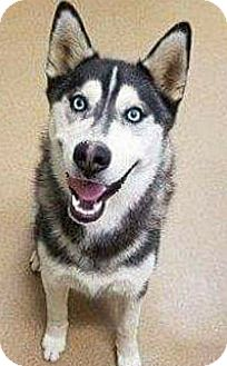 Siberian Husky Dog for adoption in Apple valley, California - Wayne