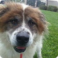 Chow Chow/Shepherd (Unknown Type) Mix Dog for adoption in Dana Point, California - Bandit