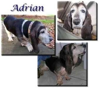 Basset Hound Dog for adoption in Marietta, Georgia - Adrian