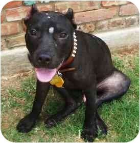 Pit Bull Terrier Mix Dog for adoption in Lawton, Oklahoma - PEYTON