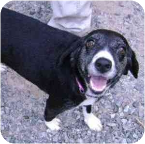 Beagle/Border Collie Mix Dog for adoption in Greensboro, North Carolina - Molly