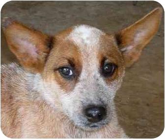 Australian Cattle Dog Mix Puppy for adoption in Terra Ceia, Florida - SIERRA