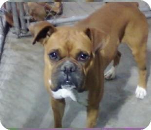 Boxer Dog for adoption in Reno, Nevada - Charley