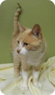 Domestic Shorthair Cat for adoption in Columbus, Nebraska - Claire