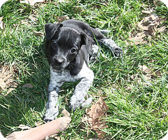 Dachshund Mix Puppy for adoption in kennebunkport, Maine - Bart - PENDING, in Maine