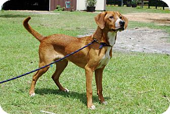 Beagle/Retriever (Unknown Type) Mix Dog for adoption in Inverness, Florida - SCRAPPY