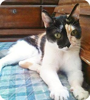 Calico Cat for adoption in Brea, California - PATCHES