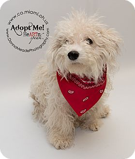 Bichon Frise/Poodle (Miniature) Mix Dog for adoption in Troy, Ohio - Frosty