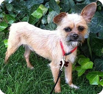 Terrier (Unknown Type, Small)/Chihuahua Mix Dog for adoption in Encino, California - Sparticus