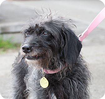 Schnauzer (Miniature) Mix Dog for adoption in Loudonville, New York - Nevaeh
