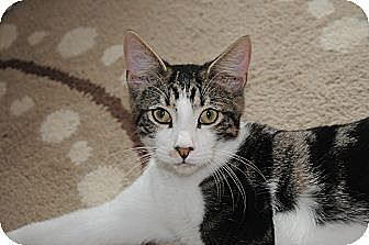 Domestic Shorthair Cat for adoption in Miami, Florida - Spuds