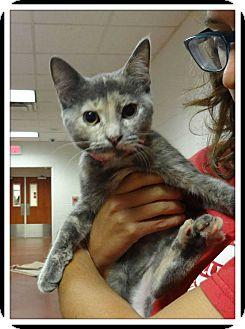 Domestic Shorthair Kitten for adoption in Marietta, Georgia - SOPHIE - see also Sandy