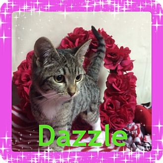Domestic Shorthair Kitten for adoption in Pahrump, Nevada - Dazzle