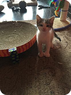 Polydactyl/Hemingway Kitten for adoption in Fort Worth, Texas - Ringo