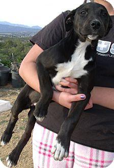 Pointer/Labrador Retriever Mix Puppy for adoption in Corona, California - JULIET