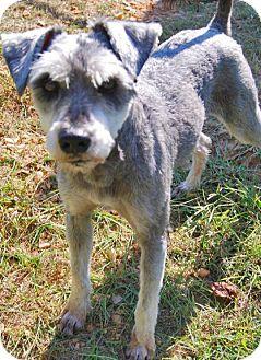 Standard Schnauzer Dog for adoption in Wetumpka, Alabama - #82142 'Patton'