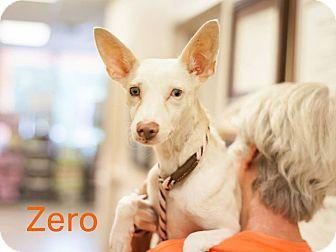 Whippet Mix Dog for adoption in Dallas, Texas - Zero
