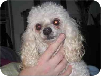 Poodle (Toy or Tea Cup) Dog for adoption in Lewisville, Texas - Zoey