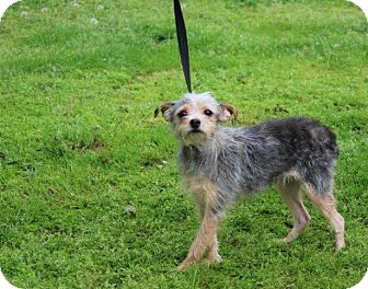 Yorkie, Yorkshire Terrier/Terrier (Unknown Type, Small) Mix Dog for adoption in Conway, Arkansas - Pixie