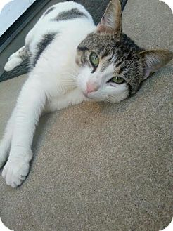 Domestic Shorthair Cat for adoption in Burlington, North Carolina - PICKLES