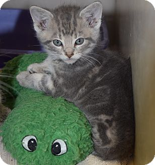 Domestic Shorthair Kitten for adoption in Bucyrus, Ohio - Gaterade