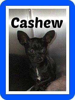 Chihuahua Dog for adoption in Shawnee Mission, Kansas - Cashew aka Cash