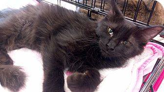 Domestic Mediumhair Kitten for adoption in Columbus, Ohio - Fro Fro