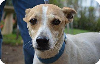 Hound (Unknown Type) Mix Dog for adoption in Danbury, Connecticut - Korey