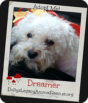 Bichon Frise Mix Dog for adoption in Lincoln, Nebraska - DREAMER