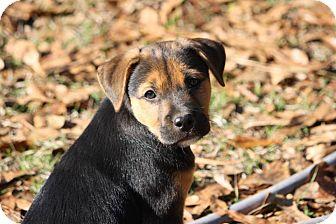 Shepherd (Unknown Type) Mix Puppy for adoption in Allentown, New Jersey - Sammy