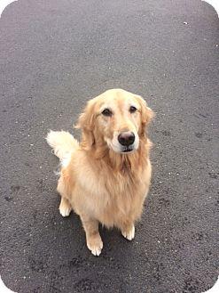 Golden Retriever Dog for adoption in Vancouver, Washington - Angel