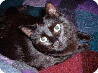 Domestic Shorthair Cat for adoption in Harrisonburg, Virginia - Mojo