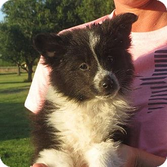Sheltie, Shetland Sheepdog/Eskimo Spitz Mix Puppy for adoption in Westport, Connecticut - Maguire
