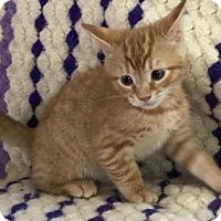Domestic Shorthair Kitten for adoption in Harrison, New York - Kate's Kittens