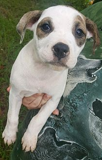 Labrador Retriever/Mixed Breed (Medium) Mix Puppy for adoption in Portsmouth, New Hampshire - SHANIA