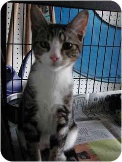 Domestic Shorthair Kitten for adoption in Fort Lauderdale, Florida - Barbosa