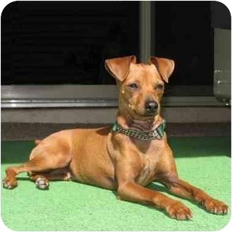 Miniature Pinscher Dog for adoption in Phoenix, Arizona - Becket