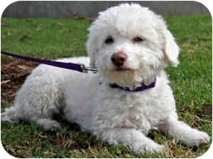 Bichon Frise Mix Dog for adoption in La Costa, California - Guthrie