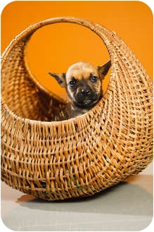 Shepherd (Unknown Type)/French Bulldog Mix Puppy for adoption in Portland, Oregon - Irwin
