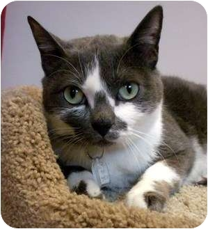 Domestic Shorthair Cat for adoption in Sacramento, California - Gunther