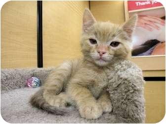 Domestic Mediumhair Kitten for adoption in Irvine, California - Scooby
