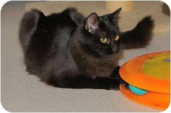 Domestic Mediumhair Kitten for adoption in Victor, New York - Skeets