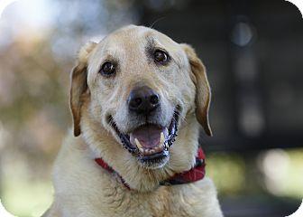 Labrador Retriever Dog for adoption in Ile-Perrot, Quebec - Wilson