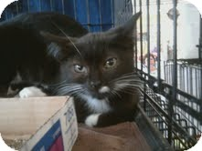 Domestic Mediumhair Kitten for adoption in East Brunswick, New Jersey - Pepper