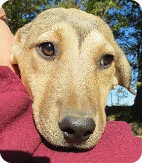 Labrador Retriever Mix Puppy for adoption in Conway, New Hampshire - Savannah