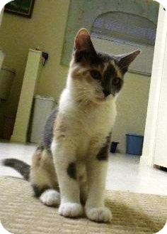 Calico Kitten for adoption in sarasota, Florida - Jaynie