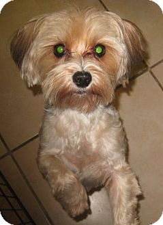 maltese yorkie mix rescue elmo adopted dog palm harbor fl maltese yorkie 9113